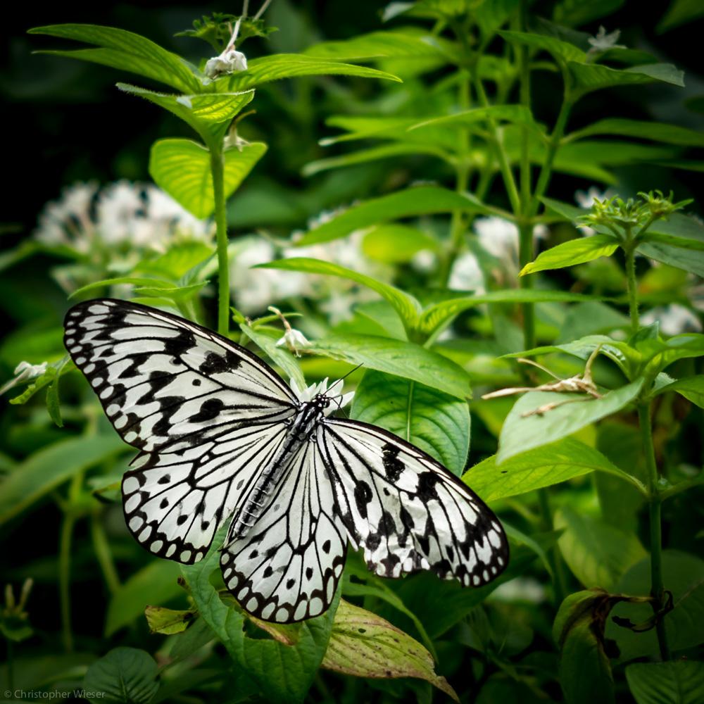 floridabutterfly